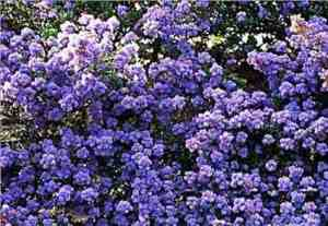 California native ceanothus in full spring bloom