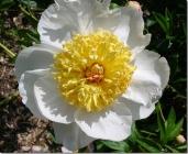 Peony White w Yellow Center