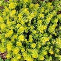 sedum-angelina-foliage