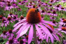 Echinacea-Purple-Cone-Flower